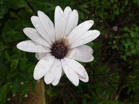 flor_blanca_lluvia
