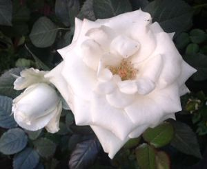 rosa_blanca