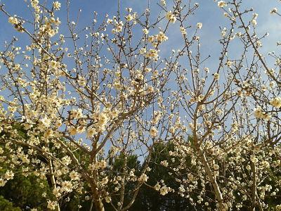 primavera_almendros