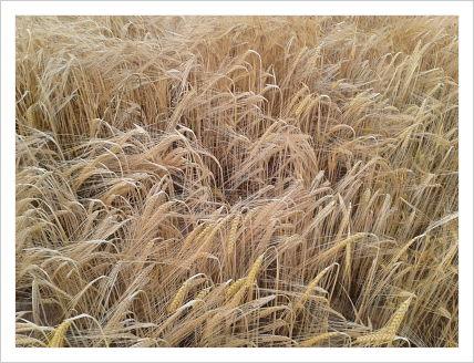 campo_cereal_junio13